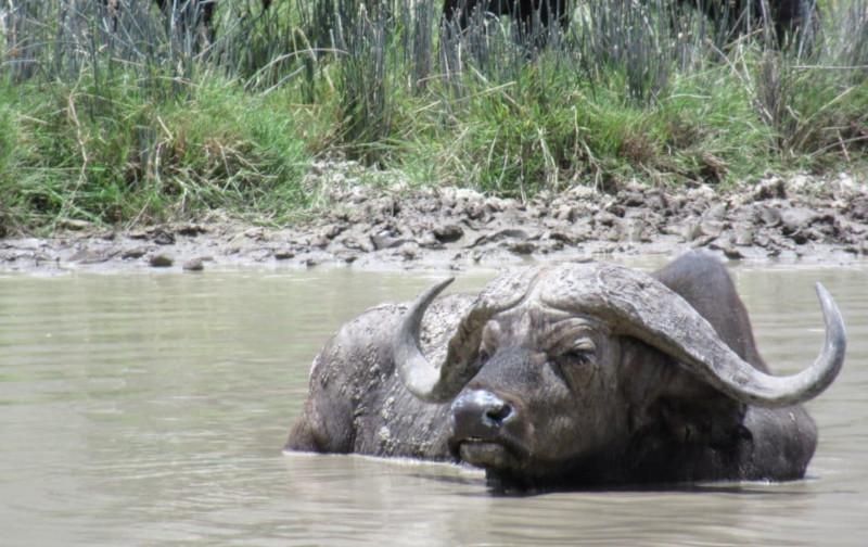 Un bufalo nello specchio d'acqua nel cratere di ngorongoro