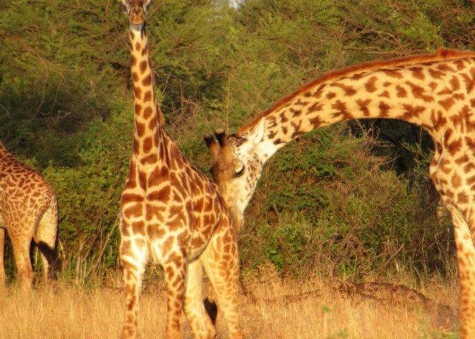 Due giraffe nel parco del serengeti in tanzania