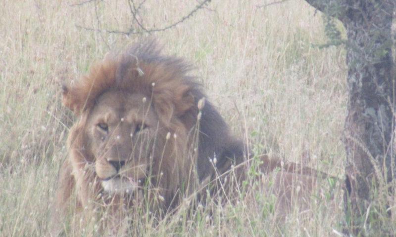 Un leone nel serengeti
