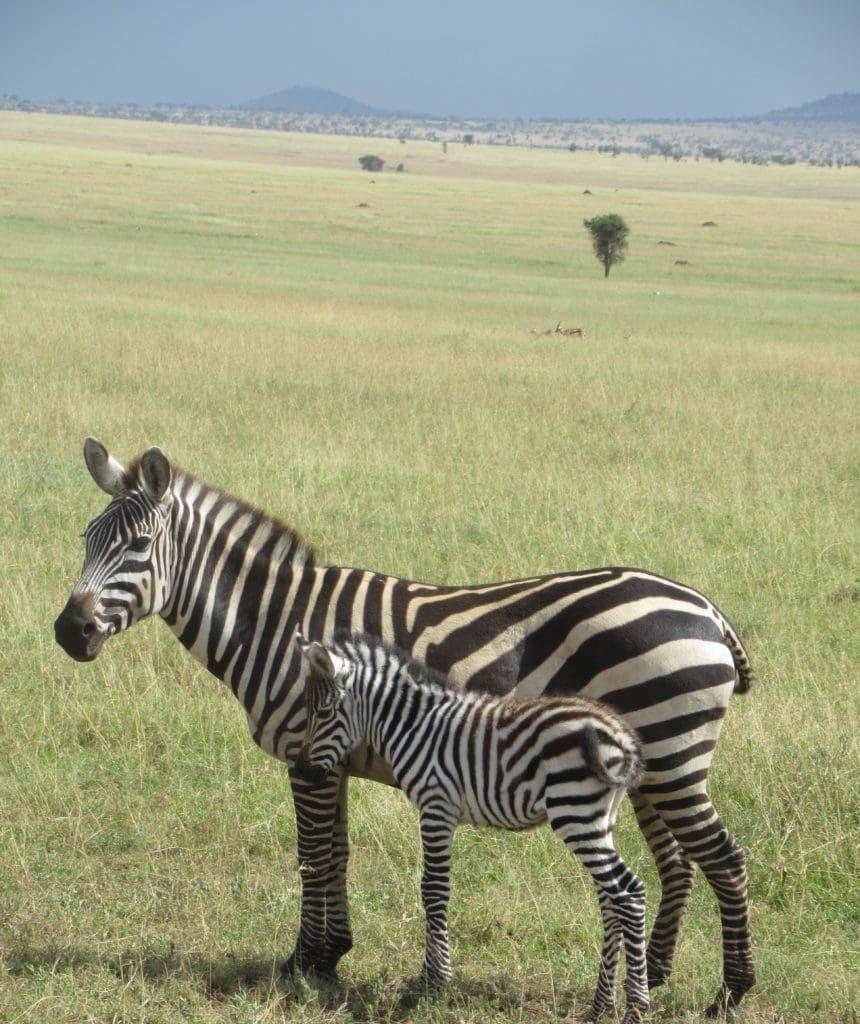 Mamma e cucciolo zebra