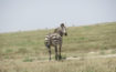 Una zebra nel cratere di Ngorongoro