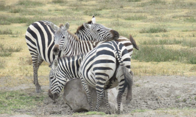 "Tre zebre nel cratere ngorongoro""dono della vita""l nkkoronkoro"