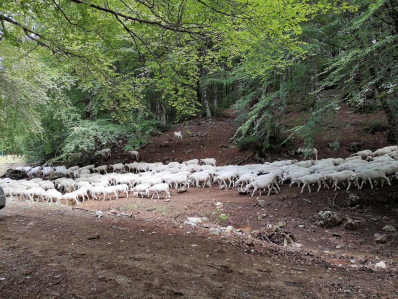 Pecore al pascolo a Piano Battaglia