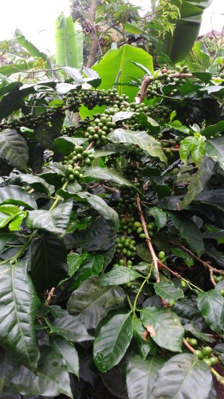 pianta del caffè