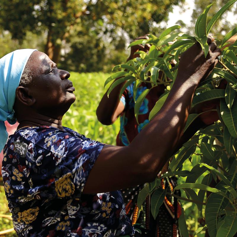Kenya Donna controlla un albero di Mango