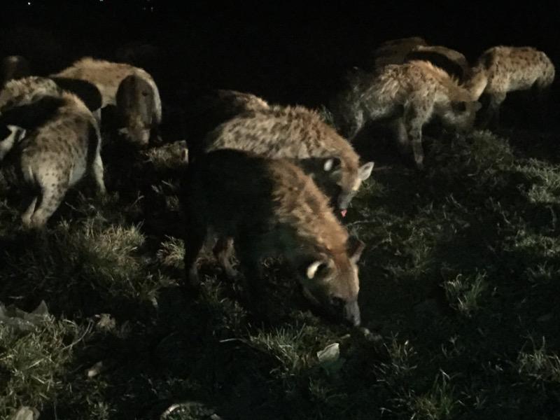 Ad Harar in Etiopia il pasto delle iene