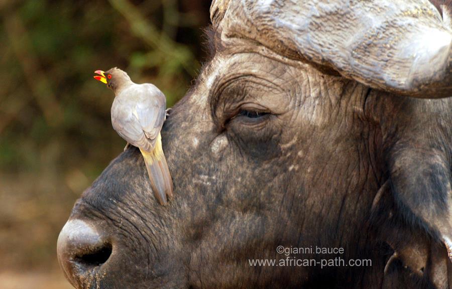 Una bufaga beccogiallo in Zimbawe