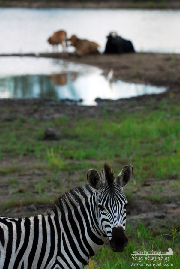 Zebra in Zimbawe
