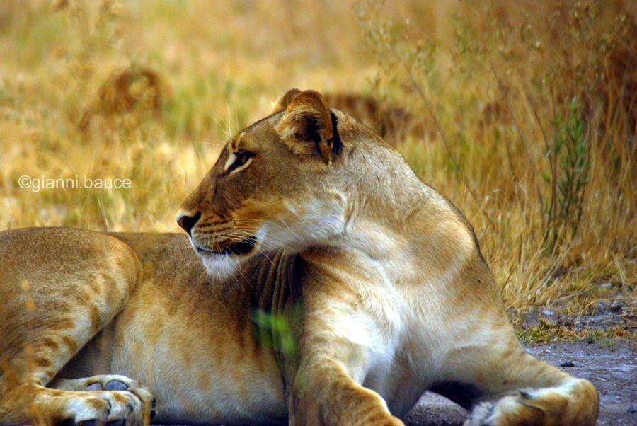Un leone in Zimbawe