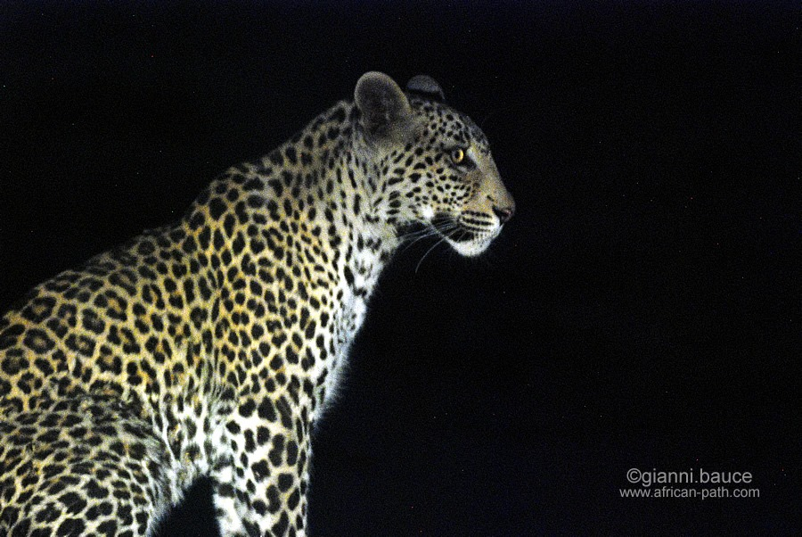 Un leopardo in Zimbawe