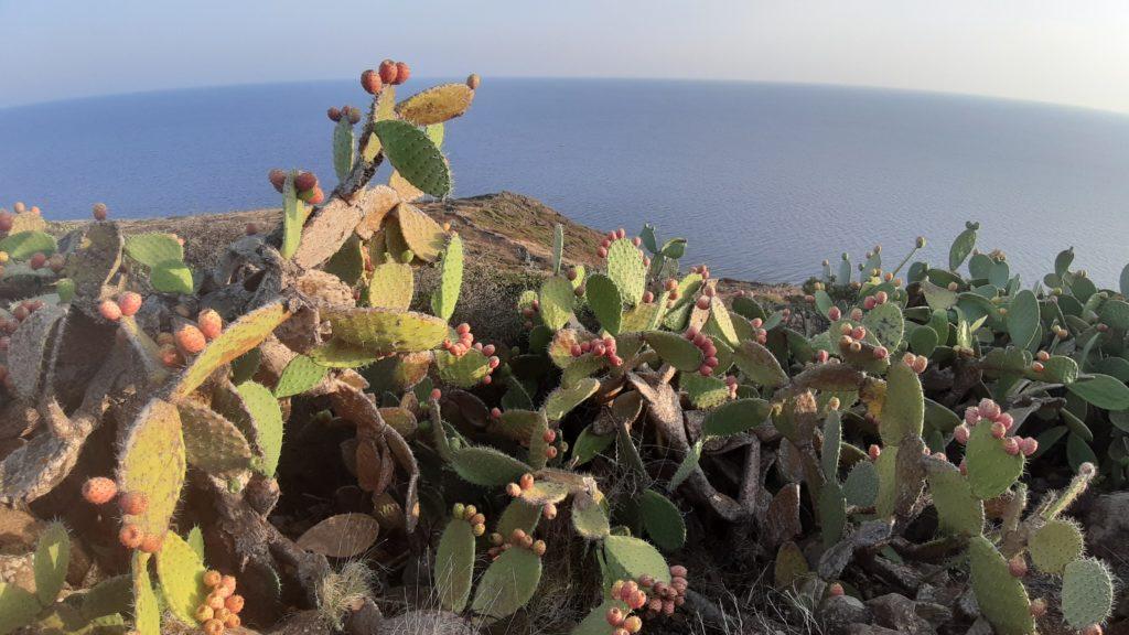 Le piante di fico d'India nel sentiero di Mezzogiorno di Ustica