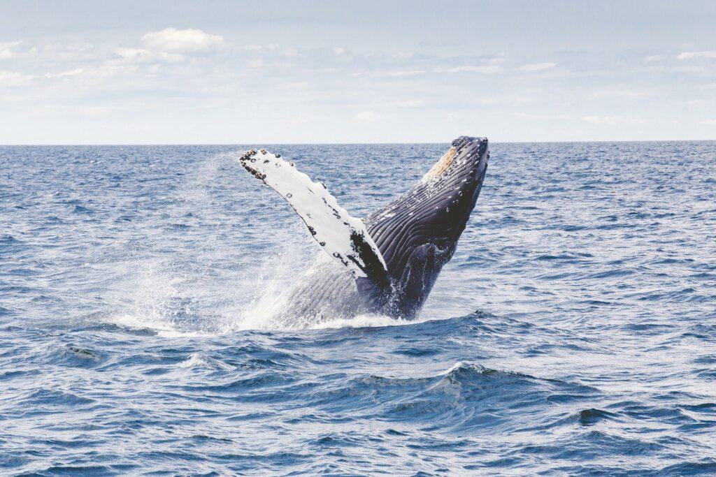 Per la giornata mondiale osservare le balenedellOserva
